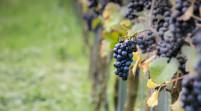 """Testo unico del Vino, Vaccari """"Sosteniamo qualità e identità"""""""